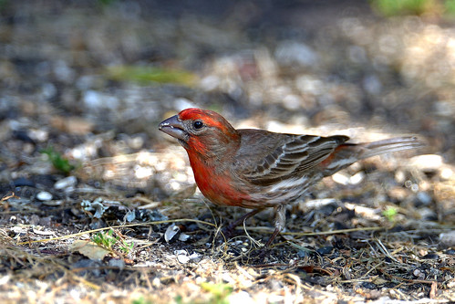 House Finch ?