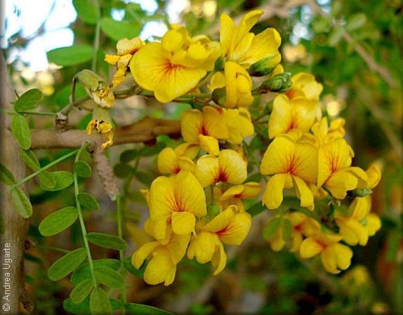 Flores de Chañar (Geoffroea decorticans)