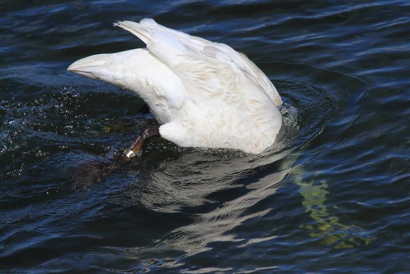 IMG_2250 Trumpeter Swan